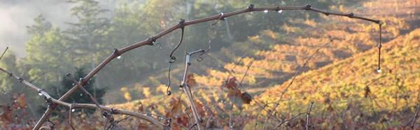 Pezzi King Vineyards